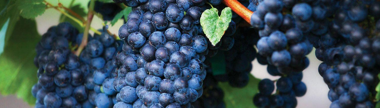 Grapes On The Vine At Burntshirt Vineyards Hendersonville NC